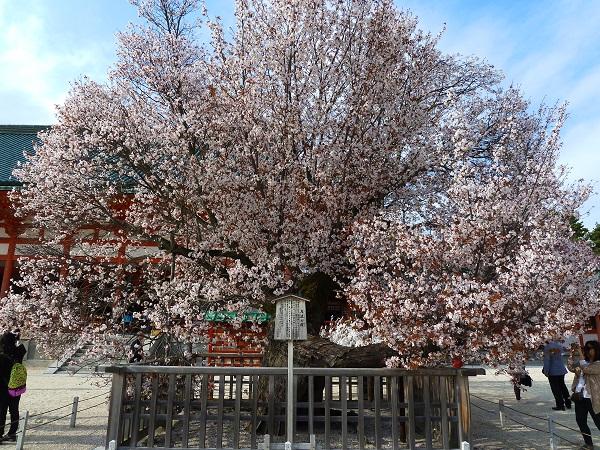 sakura-heian-jingu-kyoto