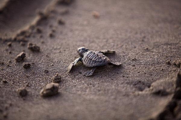 tortue-bebe-plage