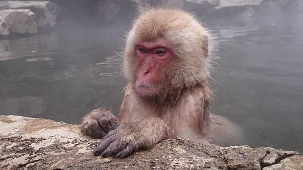 jigokudani-singe-bain-chaud
