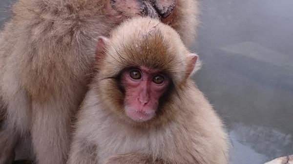 jigokudani-singe
