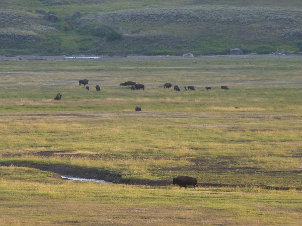 yellowstone-plaine-bisons